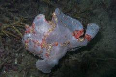 Sällsynt lavendelgrodafisk, Balicasag ö, Bohol, Filippinerna Arkivbild