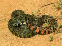 Sällsynt orm Rhabdophis tigrinus Arkivbilder