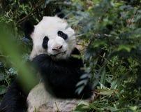Sällsynt panda royaltyfria foton