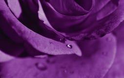 Sällsynt purpurfärgad rosa närbild royaltyfria foton