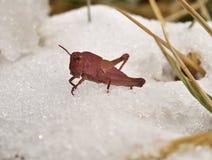 Sällsynt rosa gräshoppa Fotografering för Bildbyråer