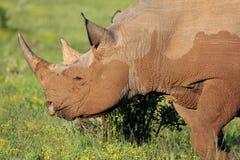 Sällsynt svart noshörning Arkivfoton