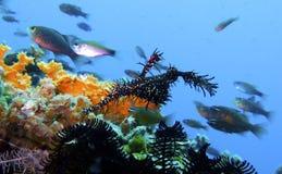 Sällsynt svart spökePipefish, korallrev, Leyte, Filippinerna Royaltyfria Bilder