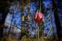 Sällsynt vårblomma Fotografering för Bildbyråer