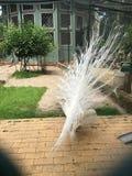 Sällsynt vit påfågel som fördelar dess fjädrar Arkivfoton
