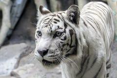 Sällsynt vit tigerslosestående Arkivfoton
