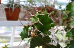 Sällsynt vriden plan suckulent kaktus med långa taggar längs kanter mot suddig växthusinställning royaltyfria bilder