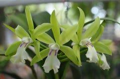 Sällsynta gröna orkidér Arkivbild