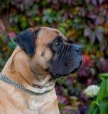 Sällsynta hundavel Closeupstående av härlig en södra hundavel - afrikan Boerboel på gräsplanen och den bärnstensfärgade gräsbakgr Arkivfoto