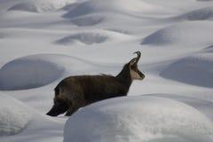 Sämischleder auf dem Schnee Stockbild