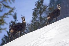 Sämischleder auf einer schneebedeckten Steigung Lizenzfreie Stockfotografie
