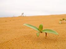 Sämling in der Wüste Stockbild