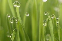 Sämling der Weizen Lizenzfreie Stockfotografie