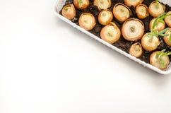 Sämlinge der Zwiebel auf weißem Hintergrund Lizenzfreies Stockfoto
