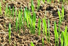 Sämlinge des Weizens Stockbild