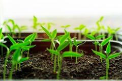 Sämlinge, die in den Kästen erreichen für das glänzende Sonnenlicht wachsen Landwirtschaftliches ländliches Konzept der Ökologie stockbild