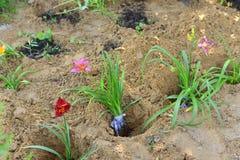 Sämlinge von den Blumen vorbereitet für das Pflanzen Lizenzfreies Stockbild