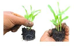 Sämlinge von Mais in der Hand Lizenzfreies Stockfoto