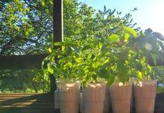 Sämlinge von Pfeffern und von Tomaten auf Gartentisch Sämlinge bereit zu pflanzen Sun-Aufflackern stockfoto