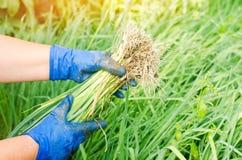 Sämlinge von Porrees sind zum Pflanzen auf dem Gebiet bereit Landwirtschaft, Gemüse, organische Agrarprodukte, Agro-Industrie Stockfotos