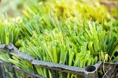 Sämlinge von Porrees sind zum Pflanzen auf dem Gebiet bereit Landwirtschaft, Gemüse, organische Agrarprodukte, Agro-Industrie Lizenzfreie Stockfotografie