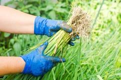 Sämlinge von Porrees sind zum Pflanzen auf dem Gebiet bereit Landwirtschaft, Gemüse, organische Agrarprodukte, Agro-Industrie Lizenzfreies Stockbild