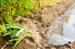 Sämlinge von Porrees sind zum Pflanzen auf dem Gebiet bereit Landwirtschaft, Gemüse, organische Agrarprodukte, Agro-Industrie Lizenzfreie Stockbilder