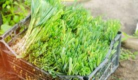 Sämlinge von Porrees sind zum Pflanzen auf dem Gebiet bereit Landwirtschaft, Gemüse, organische Agrarprodukte, Agro-Industrie Stockbilder