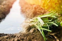 Sämlinge von Porrees sind zum Pflanzen auf dem Gebiet bereit Landwirtschaft, Gemüse, organische Agrarprodukte, Agro-Industrie Lizenzfreie Stockfotos