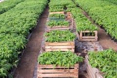 Sämlinge von Tomaten Lizenzfreies Stockfoto