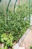 Sämlinge von Tomaten und von grünem Pfeffer lizenzfreies stockbild