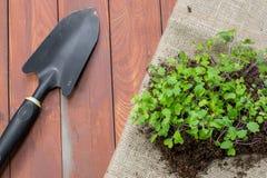 Sämlings-Pflänzchen des Kohlrabis mit Garten-Kelle stockfotografie