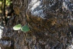 Sämlingsanlage, die auf Steingebirgsregion salalah lebenomans Dofar wächst Stockfotos