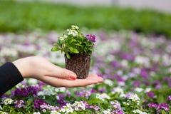 Sämlingsholding Abschluss oben des recht rosa, weißen und purpurroten Alyssum blüht, die jährliche blühende Pflanze der Crucifera Lizenzfreie Stockfotografie