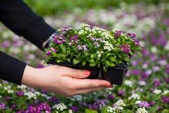 Sämlingsholding Abschluss oben des recht rosa, weißen und purpurroten Alyssum blüht, die jährliche blühende Pflanze der Crucifera Stockfotos