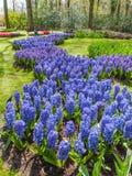 Säng av blåa hyacinter Royaltyfria Foton