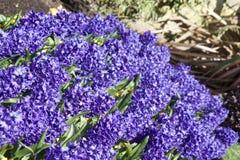 Säng av blåa hyacinter i ljust solljus arkivfoton
