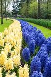Säng av blåa och vita hyacinter Royaltyfri Bild