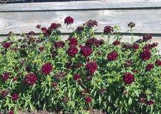 Säng av den söta svarta körsbäret för Dianthus Royaltyfri Bild