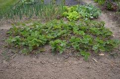 Säng av jordgubbar Arkivbild