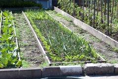 Säng av salladslökar Trädgårds- växter för vår - vitlök, lök Odling av lökar i trädgård i byn i land royaltyfri fotografi