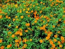 Säng av små orange blommor Arkivfoto