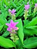 Säng av violeten blommar Curcumasessilis Arkivbild