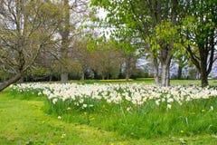 Sängar av den vita pingstliljan och gula påskliljor i det offentligt parkerar i Barnett ` s Desmesne i sena April precis för blom arkivbild