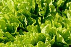 Sängar av ljust - grön grönsallat Arkivfoton