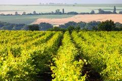 Sängar av vingården Arkivfoto