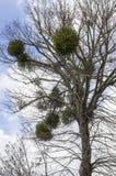 Särskilt träd som är kalt av den vita poppeln och buskar i filialerna Royaltyfri Foto