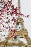 Säsong för körsbärsröd blomning i Paris, Frankrike Fotografering för Bildbyråer