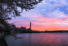 Säsong för körsbärsröd blomning på den tidvattens- handfatet i Washington DC Royaltyfri Foto