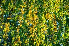 Säsong för nedgång för björkträd royaltyfri foto